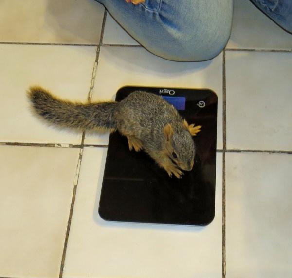 Name:  Pickles getting weighed.jpg Views: 39 Size:  84.1 KB