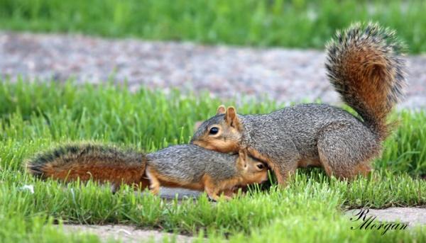 Name:  2017-03-20_5Y1A8325 [s] Fox Squirrels.jpg Views: 172 Size:  91.8 KB