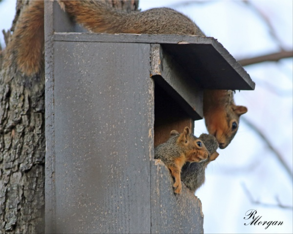 Name:  2017-03-20_5Y1A8355 [i] Fox Squirrels.jpg Views: 169 Size:  96.5 KB