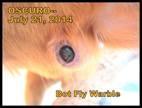 Name:  Oscuro bot warble.jpg Views: 77 Size:  80.1 KB