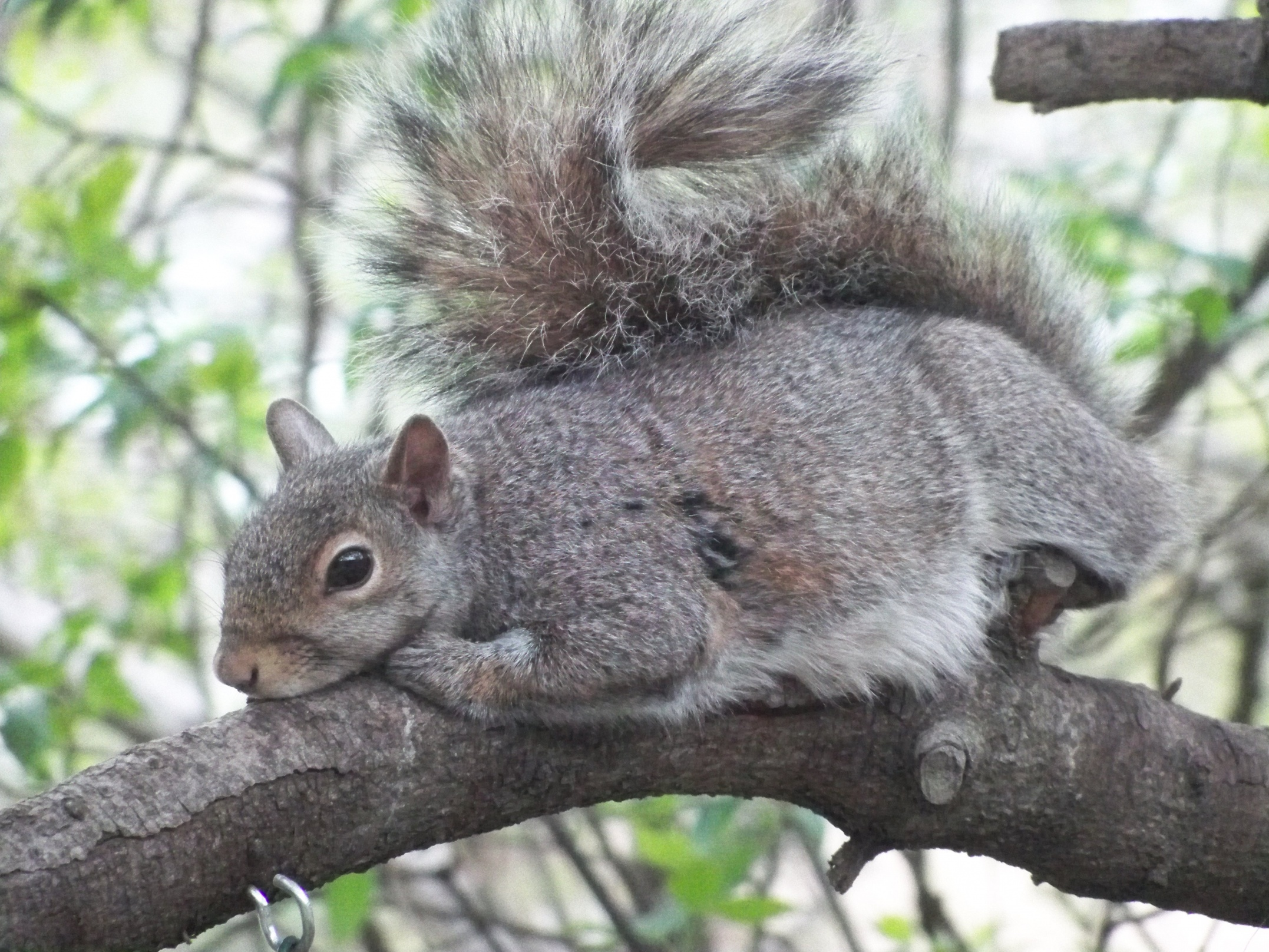 Name:  SquirrelTired01.jpg Views: 119 Size:  1.13 MB