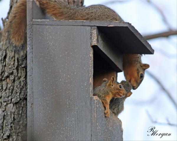 Name:  2017-03-20_5Y1A8355 [i] Fox Squirrels.jpg Views: 158 Size:  96.5 KB