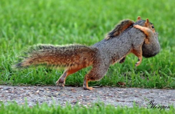 Name:  2017-03-20_5Y1A8423 [i] Fox Squirrels.jpg Views: 158 Size:  93.9 KB