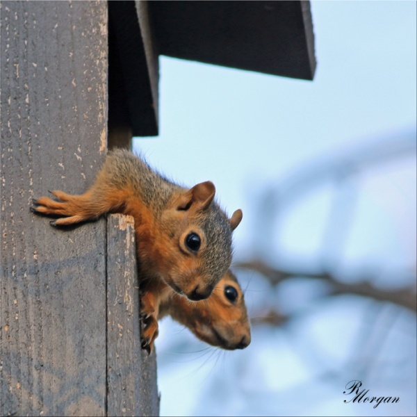 Name:  2017-03-20_5Y1A8309 [s] Fox Squirrels.jpg
