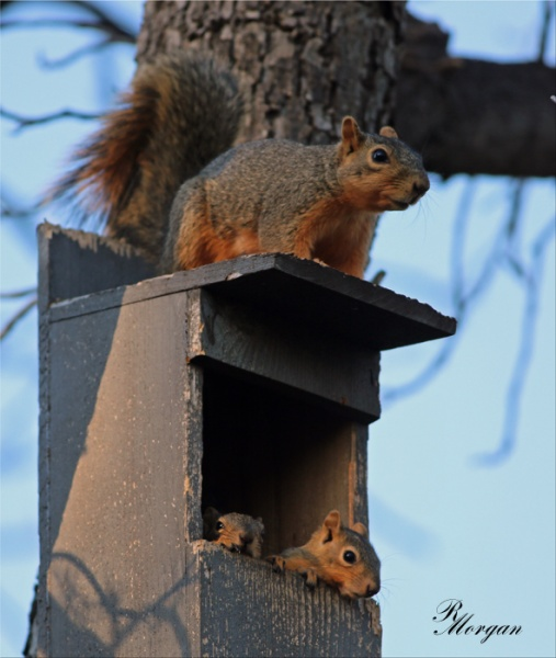 Name:  2017-03-20_5Y1A8317 [s] Fox Squirrels.jpg