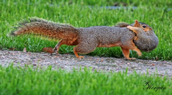Name:  2017-03-20_5Y1A8422 [s] Fox Squirrels.jpg