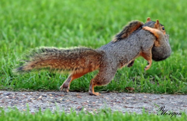 Name:  2017-03-20_5Y1A8423 [i] Fox Squirrels.jpg