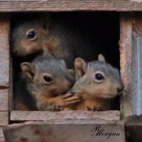 Name:  2017-03-20_5Y1A8432 [i] Fox Squirrels.jpg