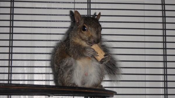 Name:  Poopoochi day 7 14 sept (eating rodent block) (4).jpg Views: 157 Size:  78.3 KB