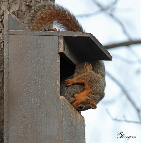 Name:  2017-03-20_5Y1A8409 [i] Fox Squirrels.jpg Views: 162 Size:  112.9 KB