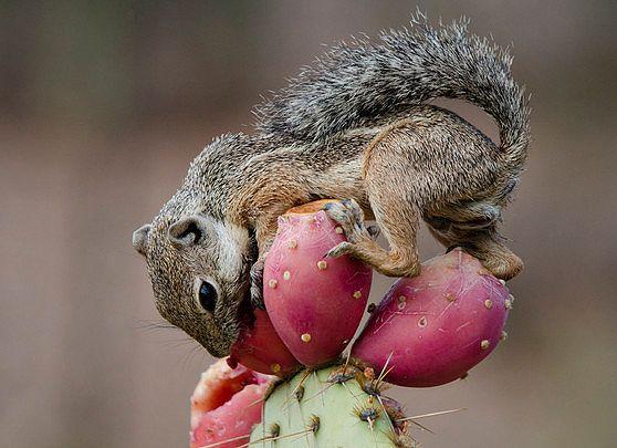Name:  prickly pear.jpg Views: 67 Size:  44.8 KB