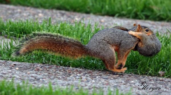 Name:  2017-03-20_5Y1A8420 [i] Fox Squirrels.jpg Views: 165 Size:  88.4 KB