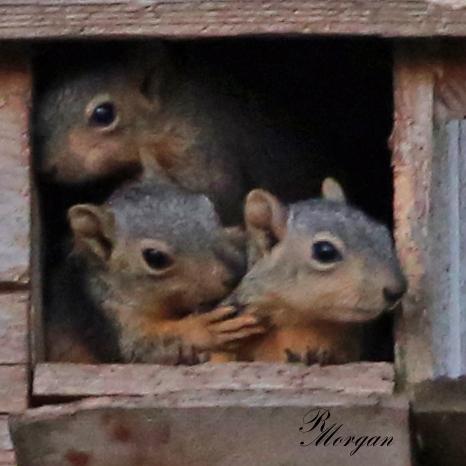 Name:  2017-03-20_5Y1A8432 [i] Fox Squirrels.jpg Views: 163 Size:  171.7 KB