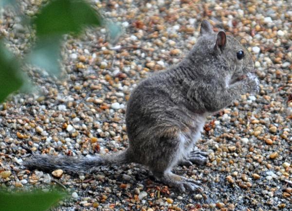 Name:  tailless-squirrel.jpg Views: 731 Size:  156.1 KB